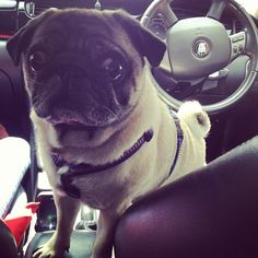 "#pug : ""Is it my turn to drive?""  #pug #pictures"