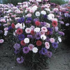 Bachelor's Buttons (Centaurea cyanus) Plants will bloom throughout the season, great for mass plantings. Extensive range of colors. Long stems are excellent for cutting. Self-seeding hardy annual, grows tall. Bachelor Button Flowers, Bachelor Buttons, Wedding Flower Arrangements, Wedding Bouquets, Wedding Flowers, Forever Green, Corner Garden, Hardy Perennials, Flowers