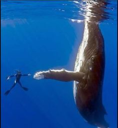 To dive with a humpback whale and other oceanic mammals! Yes, Orcas too. The Ocean, Ocean Life, Under The Water, Under The Sea, Orcas, Pesca Sub, Perfectly Timed Photos, Delphine, Tier Fotos