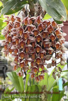 Catasetum denticulatum