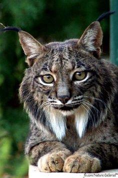 Iberian~Lynx