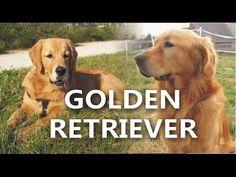 Golden Retriever - złoty aporter