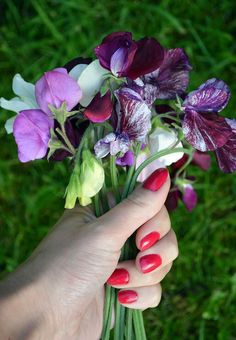 Sweet Peas are one of the most deeply scented cottage garden flowers -- they're also extremely easy to grow. Here's six tips to get you started sweetpeas cottagegarden flowergarden growcutflowers 49539664638225211 Garden Shrubs, Shade Garden, Garden Plants, Beautiful Flowers Garden, Beautiful Gardens, Beautiful Fruits, Growing Flowers, Planting Flowers, Flower Gardening