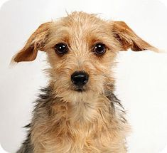 Pictures of Iris Yorkie Mix a Yorkie, Yorkshire Terrier/Rat Terrier Mix for adoption in St. Louis, MO who needs a loving home.