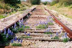 The bluebonnets are blooming in the Texas hill country! Yes!