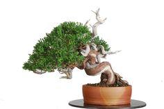 "Juniperus chinensis var. ""Itoigawa"" | David Benavente"
