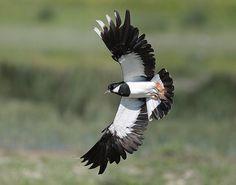 Pavoncella / Vanellus vanellus