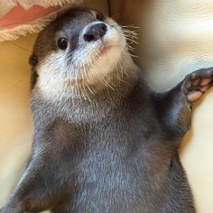 ♪ Hello from the otter siiiiiiide ♪ Otters Cute, Baby Otters, Happy Animals, Animals And Pets, Cute Animals, Otter Love, River Otter, Lovely Creatures, Mundo Animal