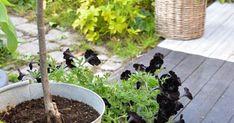 Den stora trädgårdsfesten på Sofiero i all ära men besök i privata trädgårdar är så mycket mer inspirerande för mig.  Som här hos Catar...