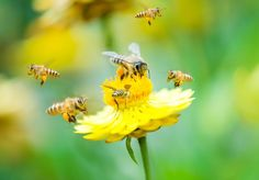 5 ways to find relief from those pesky bee and wasp stings Bee Extinction, Bee And Wasp Stings, Le Pollen, Wild Bees, Bees And Wasps, Bee Sting, Save The Bees, Tantra, Gardens