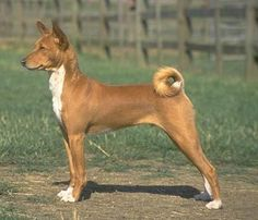 Basenji - Click image to find more Animals Pinterest pins. I love this breed!