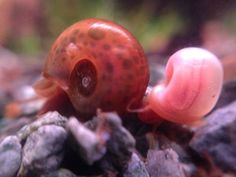 Ramshorn snails - Leopard and Pink Ghost Aquarium Snails, Ocean Aquarium, Glass Aquarium, Snails For Sale, Apple Snail, Sea Snail, Bugs And Insects, Aquatic Plants, Freshwater Aquarium