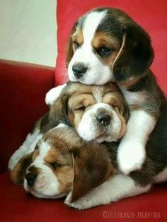 Pile of Beagle puppies Pile of Beagle puppi Pupy Training Treats - three super cute beagles, in a puppy tower! A trio of black cap Beagle Puppies are napping 1 atop the other ! Dogs and Puppies : Dogs - Image : Dogs and Puppies Photo - Description Adorabl Cute Dogs And Puppies, I Love Dogs, Cute Animals Puppies, Adorable Puppies, Puppies Puppies, Adorable Babies, Beagle Dog, Pet Dogs, Doggies