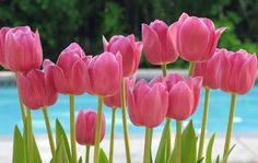 tulip flower picture | Pink Tulip Flowers