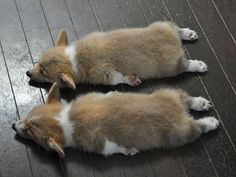 Only Thing Cuter Than One Wiped Out Corgi, is Two Wiped Out Corgis