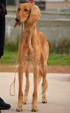 Beautiful Saluki