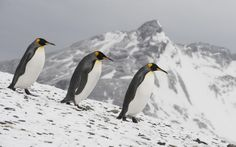 1920x1200 px emperor penguin pic 1080p windows by Wyndham Black