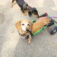 Eddie's Wheels - Wheelchairs and Dog Carts for Handicapped Pets | Category Archive | Wheelchairs for Pets