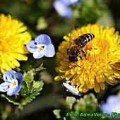 Nalewka z mniszka lekarskiego ( oczyszcza organizm, pobudza wątrobę ) Insects, Bee, Plants, Animals, Honey Bees, Animales, Animaux, Bees, Animal