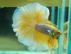 Siamese fighting fish butterfly rosetail male betta for Yellow koi fish for sale