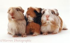 Trio of guinea pig babies ❤❤❤ Guinea Pig Food, Baby Guinea Pigs, Baby Pigs, Guniea Pig, Cute Piggies, Cute Baby Animals, Mammals, Cats And Kittens, Pup