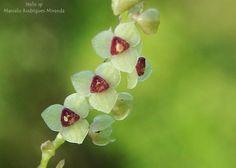 stelis sp. - Flickr - Photo Sharing!