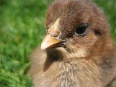 9 steps for raising chicks: Whether you order chicks through the mail, buy them at the feed store, or incubate them yourself, these important first steps will help get them off on the right foot! | Living the Country Life | http://www.livingthecountrylife.com/animals/poultry/9-steps-for-raising-chicks/