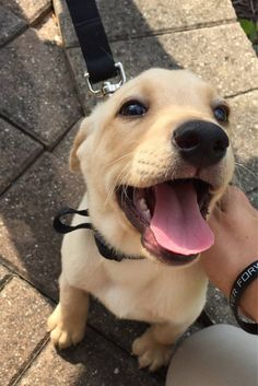 There's nothing sadder than being a dogless dog person. Cute Puppies, Cute Dogs, Dogs And Puppies, Doggies, Labrador Retriever, Mundo Animal, Smiling Dogs, Cute Creatures, Sea Creatures