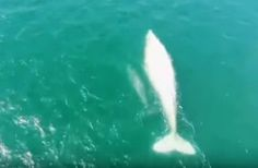 The albino gray whale 'Gallon of Milk' makes a rare appearance during an annual whale census off the Pacific coast of Mexico. The majestic creature appeared with a gray calf that apparently did not inherit her albino condition.