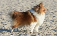 Sheltie Tjure im Winter 2014