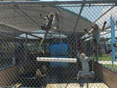 As Hendry County Investigates, Debate Over Primate Breeding Facilities Continues | WGCU News