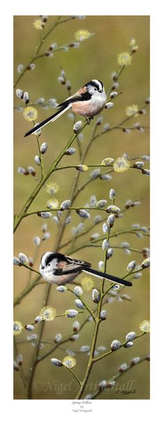Spring Willow ( Long-Tailed Tits)