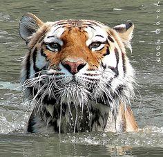 """tiger....""""big sydney"""
