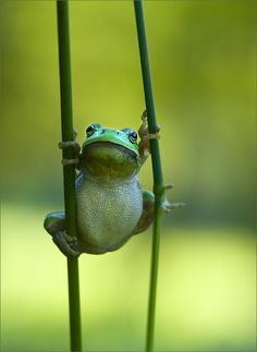 'A Frog using stilts' by photographer Tammy Bergström. via most amazing pics The Animals, Baby Animals, Funny Animals, Wild Animals, Adorable Animals, Funny Frogs, Cute Frogs, Beautiful Creatures, Animals Beautiful