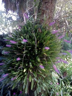 Tropical Flowering Plants- Aechmea gamosepala
