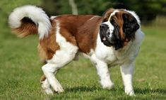 Natural photo of a St. Chien Saint Bernard, St Bernard Puppy, Cute Cats And Dogs, Big Dogs, Dogs And Puppies, Doggies, Different Dogs, Labrador Retriever Dog, Bull Terrier Dog