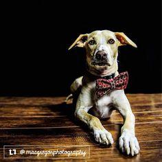 Distinguished Dawson - amazing photograph of this service dog in training by  @macgregorphotography . . #thriftypup #bowtie #dogbowtie #dogsinbowties  #bowtiesarecool #bowtiesforpets #dogaccessories #dogfashion #upcycled #handmade #shopsmall #supportsmallbusiness #fancydogs #dapperdog #stylishdog #dog #dogstagram #dogsofinstagram #doglovers #puppy #puppylove #puppiesofinstagram #dailyfluff #dogoftheday #thriftypupambassador #servicedog #thriftypupvalentine