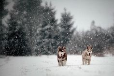 Husky puppies playing in the snow.
