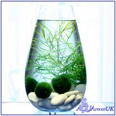 Habitat with marimo (living algae balls), plants and shrimp | 3 Baby Marimo Moss Balls Live Aquarium Plant Java Shrimps Fish Tank Java 3 | eBay
