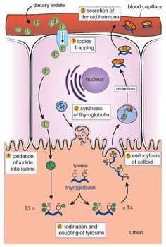 Production of thyroid hormones. Nadya Kiriyak.