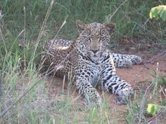 Leopard in the Timbavati Reserve