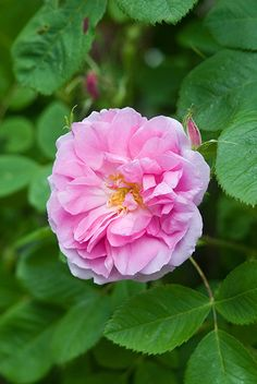 Loosely double, clear pink flowers with a powerful fragrance. Buy Quatre Saisons from David Austin with a 5 year guarantee and expert aftercare. Roses David Austin, David Austin Rosen, Beautiful Roses, Beautiful Gardens, Beautiful Flowers, Anne Boleyn, Purple Roses, Pink Flowers, Happy Flowers