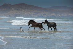 horse couple & a dog at play - Mancora, Peru