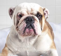 Lovely Bulldog