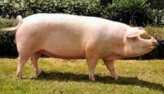 Large White Pig, Raza Yorkshire, Farm Animals, Cute Animals, Broiler Chicken, Pig Breeds, Pig Farming, Farming Ideas, Black Pigment