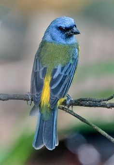 The blue-and-yellow tanager is a species of bird in the family Thraupidae, the tanagers. It is found in Argentina, Uruguay, Brazil, Paraguay, Bolivia, extreme northern border Chile, and Andean Peru and Ecuador.