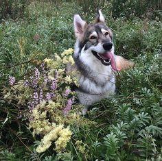 #инстамир #природа #лето2017 #растения #собакаволк #собакаулыбака #радости #счастье #инстаграмзверят #ирландия #happyness #ilovemydog #ilovemylife #wolfdog #naturalbeauty #photography #passion #wildflowers #wilderness #instagood #galwaygirl Natural Beauty from BEAUT.E