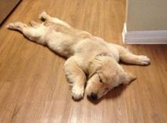 golden retriever puppy all tuckered out Animals And Pets, Baby Animals, Funny Animals, Cute Animals, Cute Puppies, Cute Dogs, Dogs And Puppies, Doggies, Baby Dogs