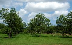 The Pawnee pecan tree is an excellent choice for people with limited space due to its relatively small size, only 30 feet tall and wide. Pawnee grows well from Georgia to Texas and is an exceptional pollinator. The nuts are large and sweet. The Pawnee has recently become one of the most popular papershell varieties for home and commercial orchards due to its numerous fine qualities.