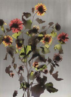 Adam Fuss - Untitled (Large Flowers, Plants) on MutualArt.com
